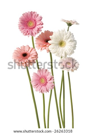 7 pink gerber daisies isolated on white background - stock photo