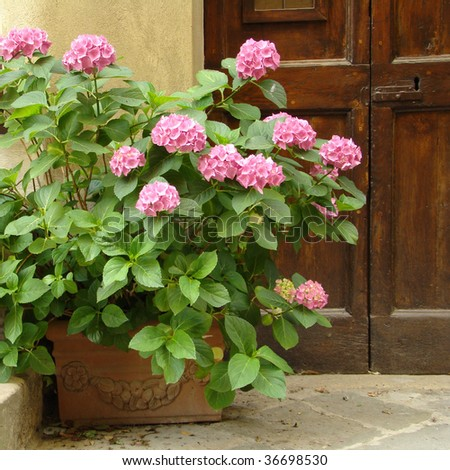 pink hortensia in front of the door, Tuscany - stock photo