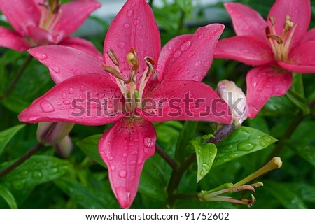 Pink lilly with a water drops - stock photo