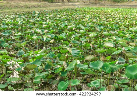 Pink lotus on pond in nature