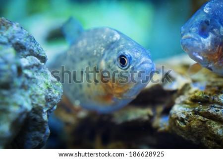 Piranha (Serrasalmus rhombeus) fish - stock photo