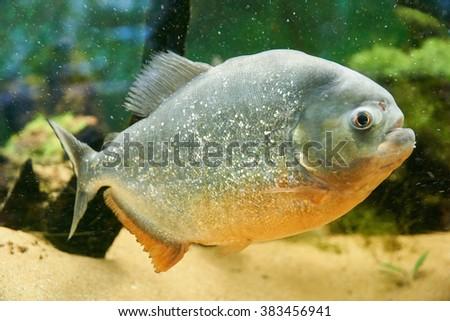 Piranha tropical fish                            - stock photo
