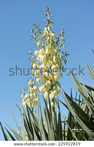 plant of yucca with a panicle in flowering  - stock photo