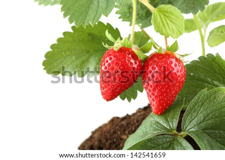 plant with two strawberries isolated on white - stock photo