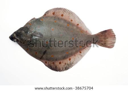 (Pleuronectes platessa) Plaice-fluke, Fluke, Plaice, Hen fish. Fresh caught lying on a light background - stock photo
