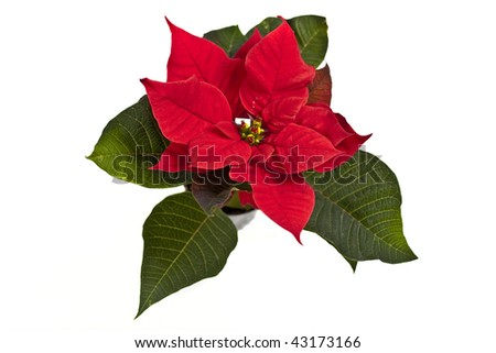 Poinsettia is a traditional Christmas Flower. It is known as Bethlehem Star in some countries. Isolated on white background. - stock photo