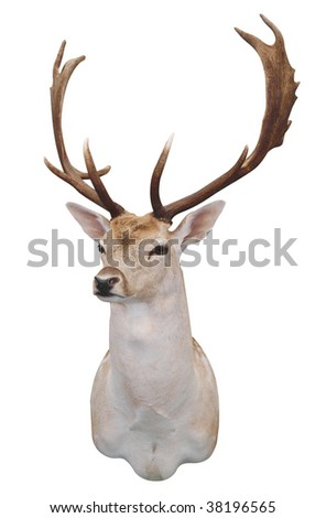12 Point Fallow Stag's Head isolated with clipping path - stock photo
