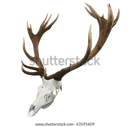 17 Point Mounted Sika Stag Horns isolated with clipping path - stock photo
