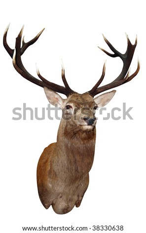 14 Point Sika Stag's Head isolated with clipping path - stock photo