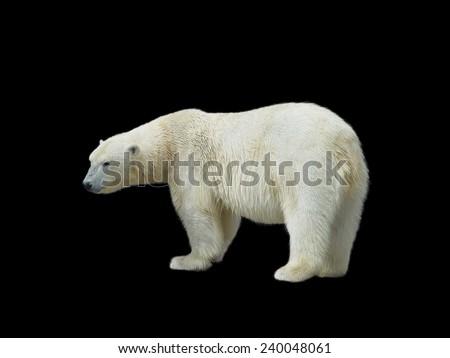 Polar bear standing sideways, isolated on black background                              - stock photo