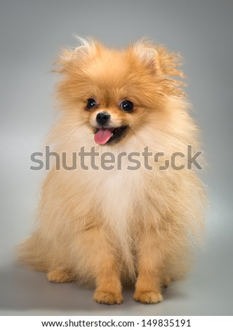 Pomeranian spitz-dog in studio on a neutral background - stock photo