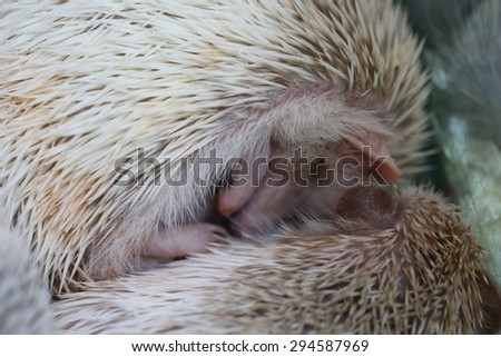 porcupine ,Hedgehog, Young hedgehog in natural. Curious hedgehog sleeping in the woods on a sunny summer day - stock photo