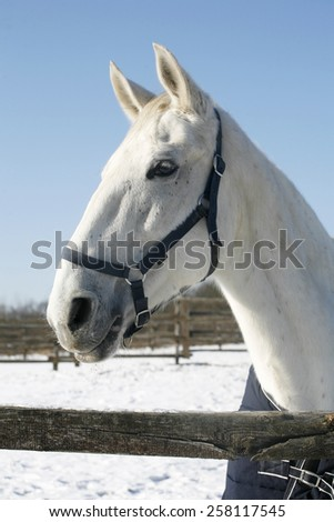 Portrait of a beautiful gray horse at corral door winter time. Head shot of a white horse in winter paddock - stock photo