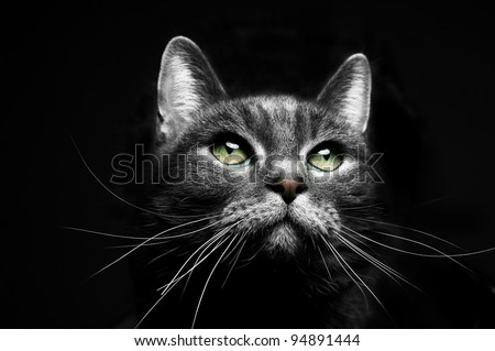 portrait of a beautiful grey cat looking to the right - stock photo