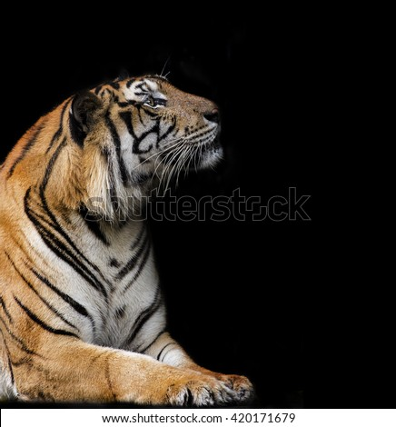 portrait of a bengal tiger on black background  - stock photo