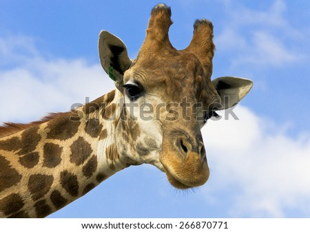 Portrait of a giraffe on the background of blue sky.  - stock photo