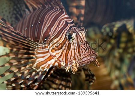 portrait of a red lion-fish in a aquarium - stock photo