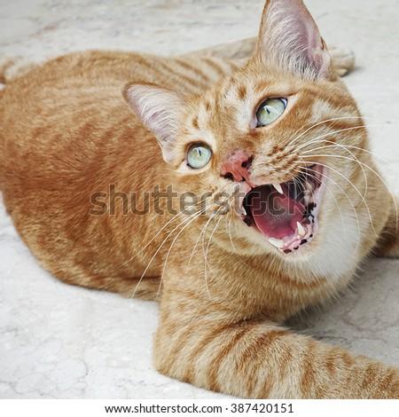 Portrait of a Thai Cat.                            - stock photo
