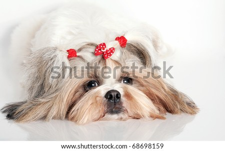 Portrait of a white fluffy dog of the Shih-tzu - stock photo