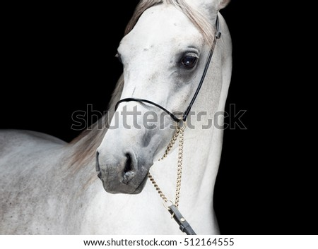 portrait of beautiful arabian white colt at black background. close up