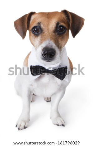 Portrait of beautiful stylish small dog Jack russell terrier, in a white collar and bow tie is looking right into the camera - stock photo