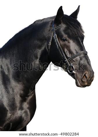 Portrait of black horse isolated - stock photo
