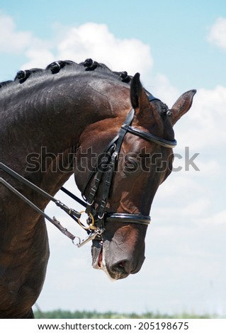 Portrait of dressage bay horse on nature background