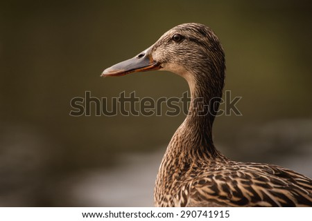 portrait of female duck on blurred background  - stock photo