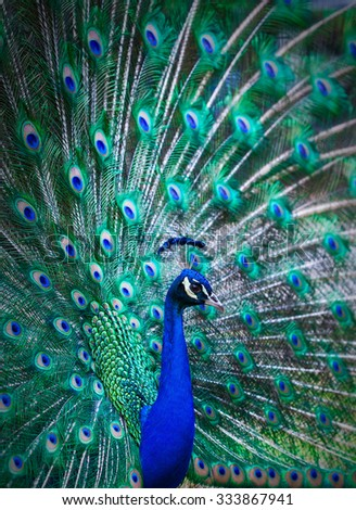 Portrait of peacock with colorful tail fully open - stock photo