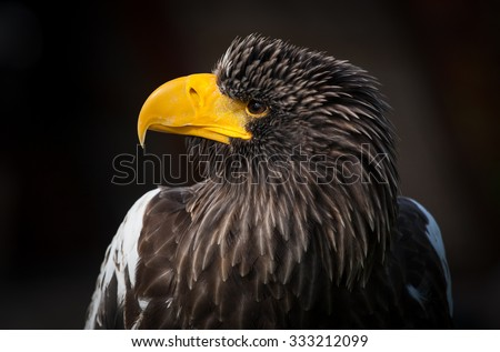 Portrait of Steller's Sea-Eagle on dark background  - stock photo