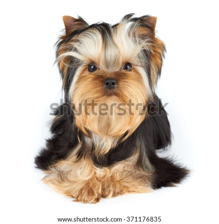 Portrait of the Yorkshire Terrier over white                               - stock photo
