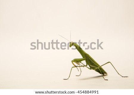 Praying Mantis, Mantis religiosa, on white background