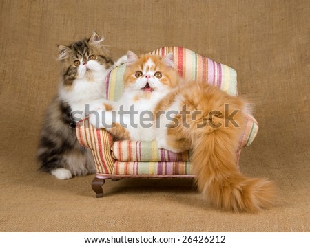 2 pretty and cute Persian kittens on miniature mini chair against hessian burlap background - stock photo