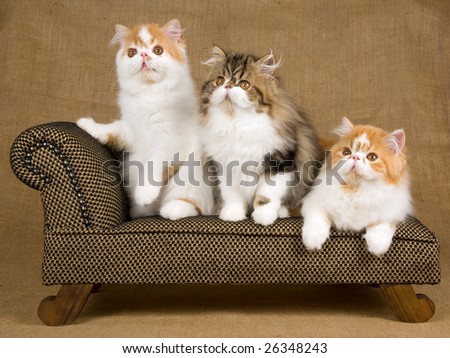 3 Pretty and cute Persian kittens sitting on miniature chaise couch sofa on hessian background - stock photo