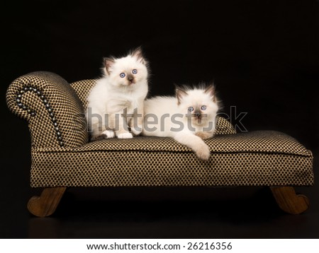 2 Pretty and cute 5 week old Ragdoll kittens on brown chaise couch sofa on black background - stock photo