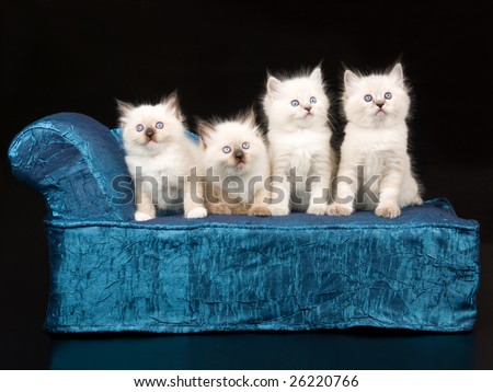 4 Pretty and cute 5 week old Ragdoll kittens on miniature chaise sofa on black background - stock photo