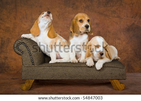 3 Pretty Beagle puppies on miniature sofa couch chaise brown background