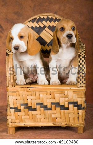 2 Pretty Beagle puppies sitting on woven bamboo chair