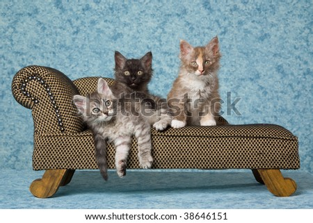 3 Pretty LaPerm kittens sitting on miniature couch sofa chaise - stock photo
