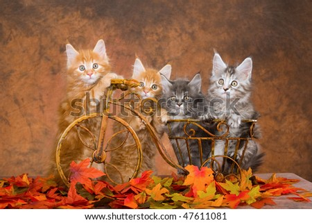 4 Pretty Maine Coon kittens on brown miniature bicycle - stock photo