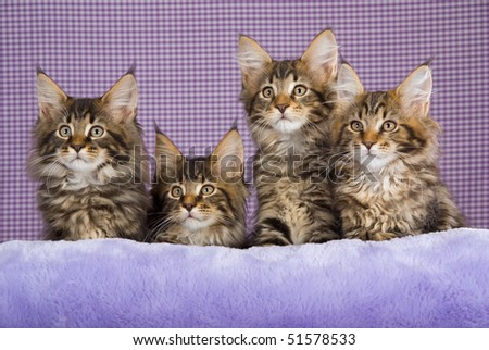 4 Pretty Maine Coon kittens on purple lilac background
