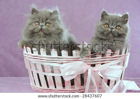 2 Pretty Persian Exotic kittens in pink gift basket with bow on lilac background - stock photo