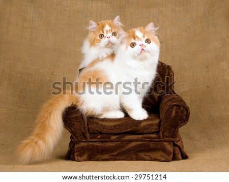 2 pretty Persian red and white kittens sitting on miniature brown chair on hessian burlap background