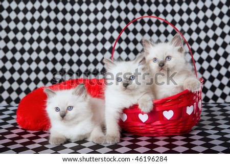 3 Pretty Ragdoll kittens in red Valentine baskets on check background