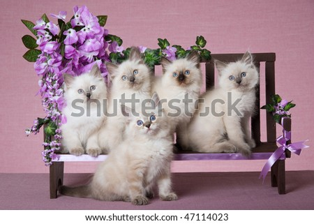 5 Pretty Ragdoll kittens on mini wooden bench with purple flowers - stock photo