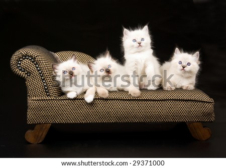 4 pretty Ragdoll kittens on miniature brown chaise couch sofa on black background - stock photo
