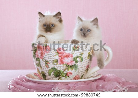 2 Pretty Ragdoll kittens sitting inside large cup on pink background - stock photo