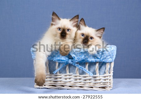 2 Pretty Ragdoll kittens sitting inside white woven basket blue blue lining, on blue background - stock photo