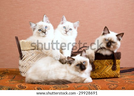4 pretty Ragdoll kittens sitting inside woven brown baskets on brown background - stock photo