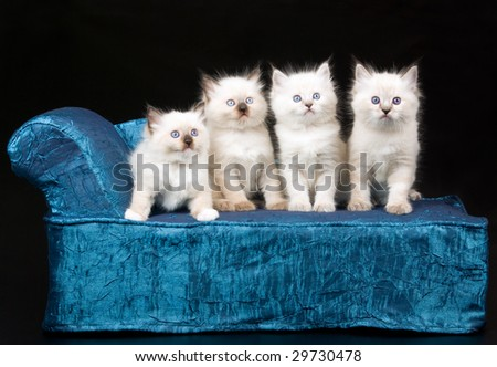 4 pretty Ragdoll kittens sitting on miniature blue chaise couch sofa on black background - stock photo